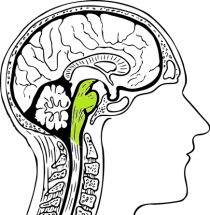 De hersenstam